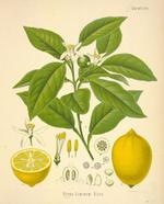 Lemon16l_3